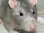 Мишоподібні гризуни – носії та переносники зоонозних    інфекційних  хвороб людини та тварин